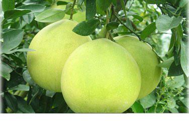 春季清脂柚子减肥法越吃越瘦!